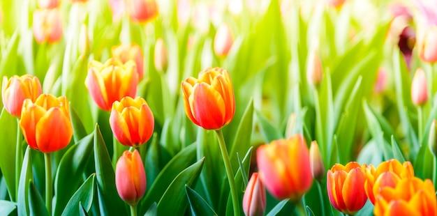 Tulpen blühen im garten.