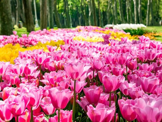 Tulpen im gulhane park (rosehouse), istanbul, die türkei