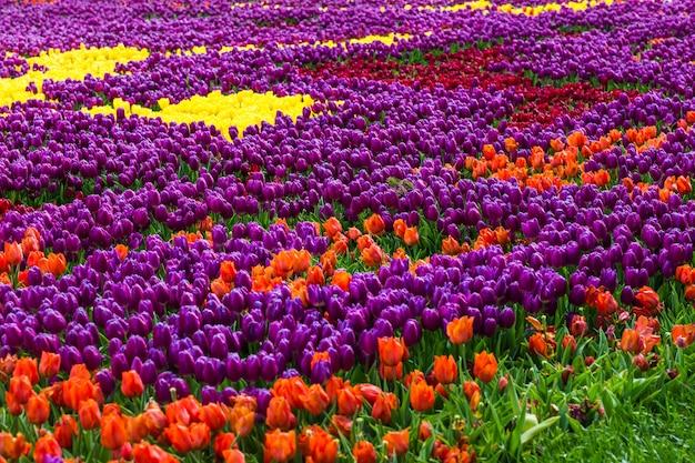 Tulpen in istanbul