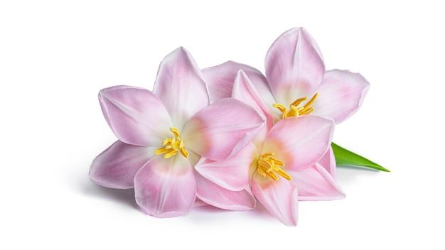 Tulpen lokalisiert auf weißem hintergrund. hochwertiges foto