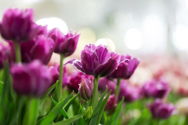 Tulpen mit bokeh beleuchten vom hintergrund.