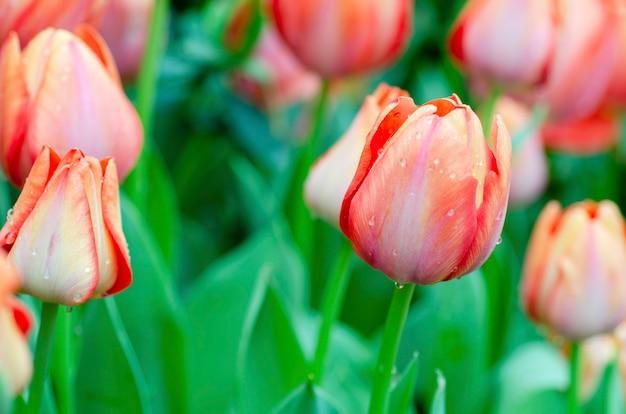 Tulpen mit unscharfem musterhintergrund