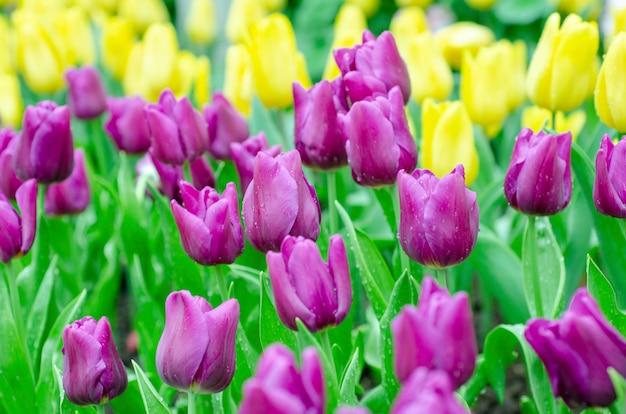 Tulpen verschwommen hintergrund