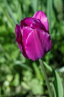Tulpen wachsen auf einem blumenbeet im garten
