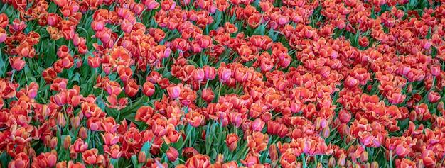Tulpenblume im garten, naturhintergrund.