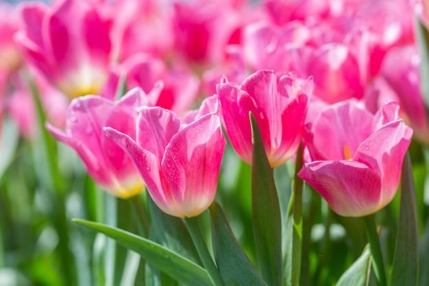 Tulpenblume mit grünem blatthintergrund am winter- oder frühlingstag.