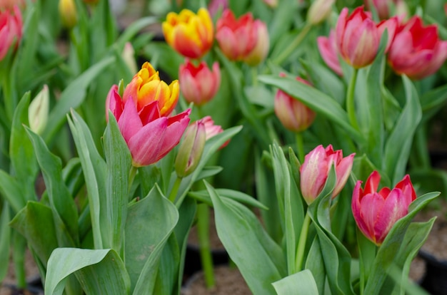 Tulpenblumen-hintergrundmuster verwischt