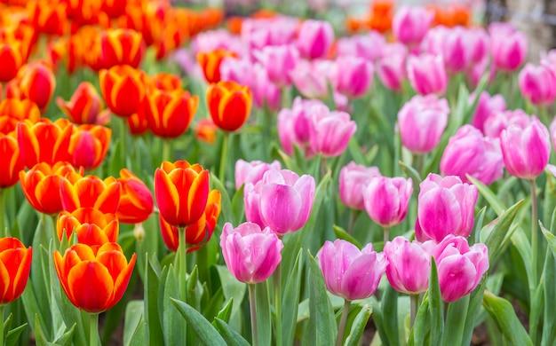 Tulpenblumenfelder