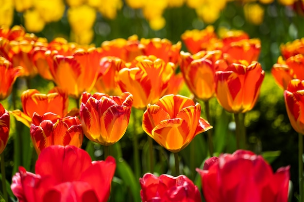 Tulpenfeld in den niederlanden schließen.