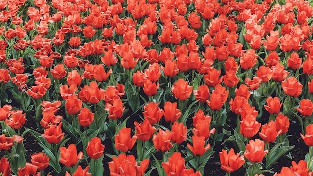 Tulpenfeld in den niederlanden