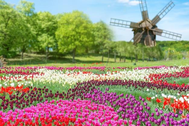 Tulpenfeld mit vielen bunten blumen und mühle im grünen park