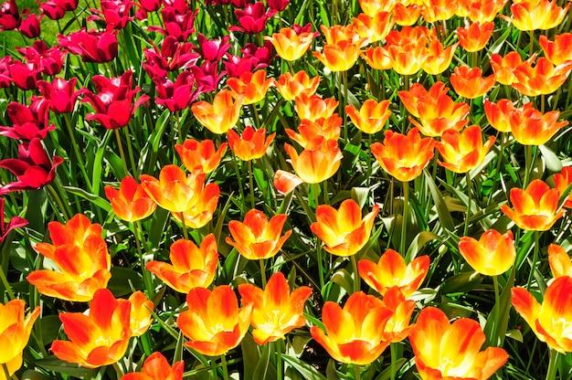 Tulpenfelder in den niederlanden