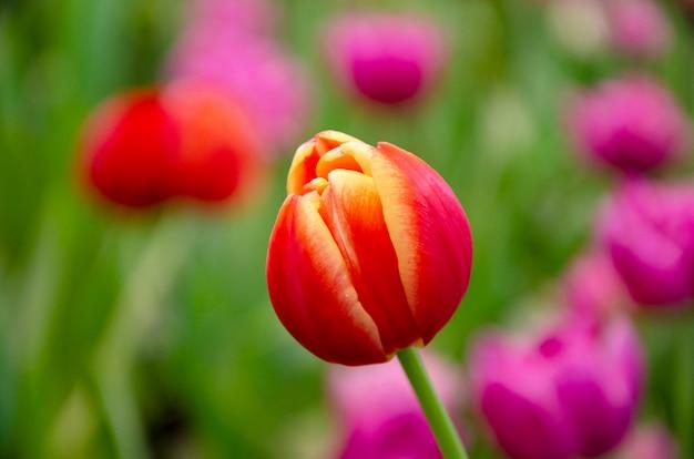 Tulpenmusterhintergrund verwischt