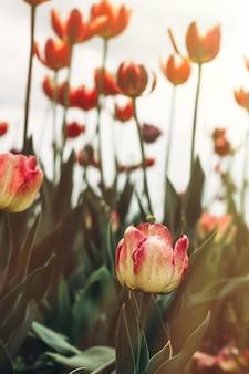 Tulpensetzlinge auf der straße