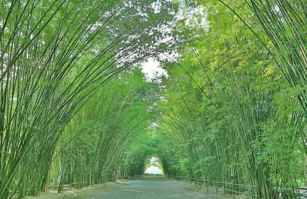 Tunnelbambusbogen mit gehweg durch wald in thailand.
