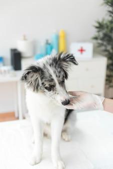 Tupfender hund des weiblichen tierarztes in der klinik