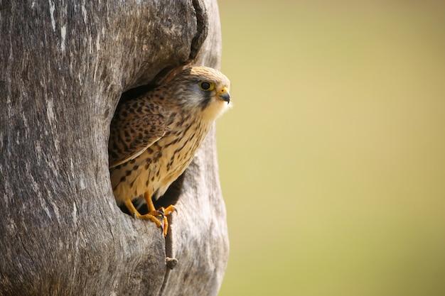Turmfalke, der im nest in der frühlingsnatur sitzt.