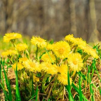 Tussilago farfara gelber huflattich im grünen gras auf natürlichem waldhintergrund. erstes frühlingsblumenkonzept