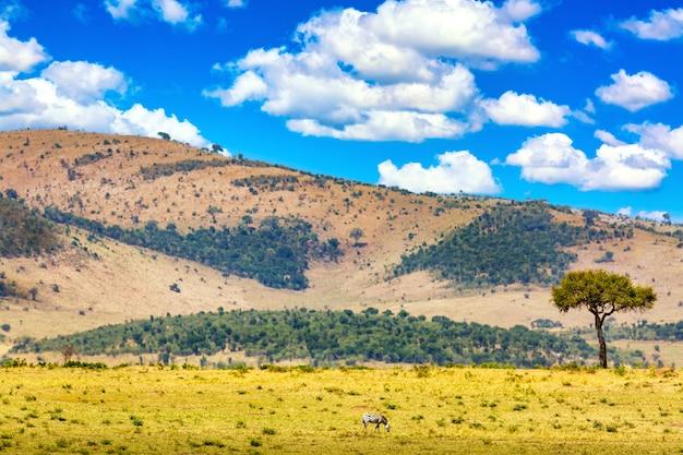Typische afrikanische landschaft. gemeinsames zebra equus quagga zu fuß im masai mara nationalpark in der nähe von akazie. kenia, afrika.