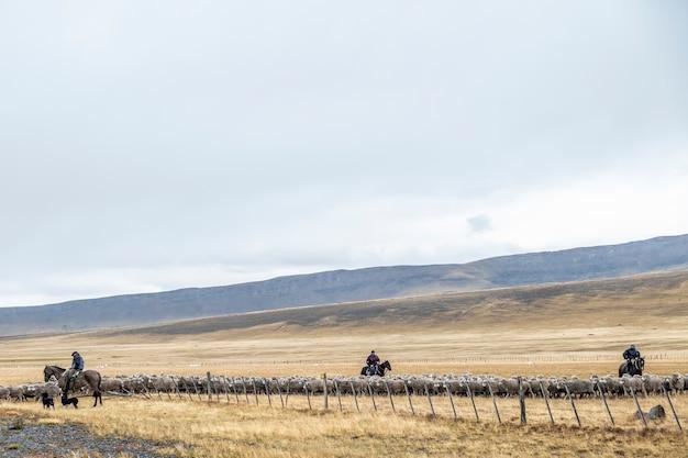 Typische gauchos auf pferden, die sich um die schafherden kümmern und sie zum corral führen.