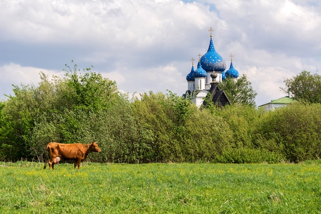 Typische russische landschaft. kuh grasen auf der wiese. die kuppeln der kirche sind in der ferne zu sehen. susdal, russland