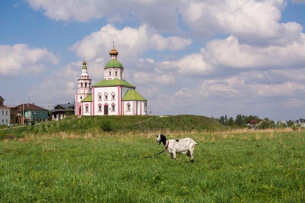 Typische russische landschaft. ziege, die auf einer wiese auf dem hintergrund der kirche weiden lässt. susdal, russland
