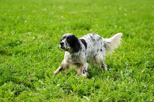Typischer englischer setzer auf einem rasen des grünen grases