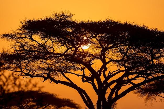 Typischer ikonischer afrikanischer sonnenuntergang mit akazienbaum in der serengeti, tansania.