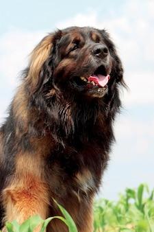 Typischer leonberger hund