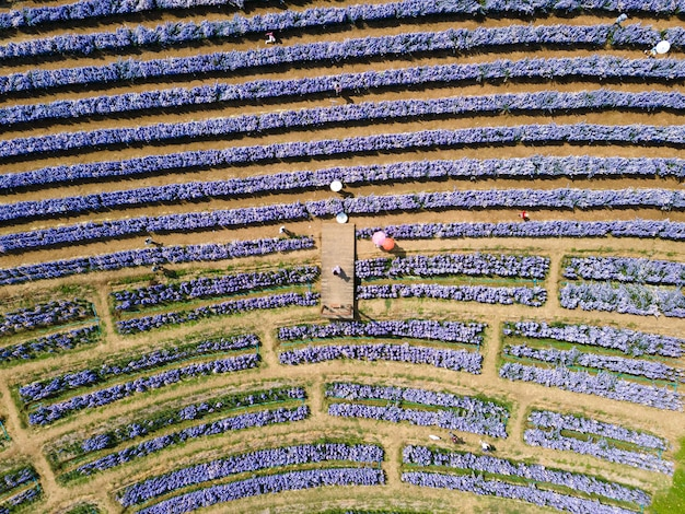 Über der reihe lila margaret blumenfeld blüht im garten