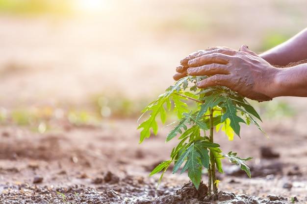 Übergeben sie das halten des bodens und das pflanzen des jungen papayabaums in boden. speichern sie welt- und ökologiekonzept