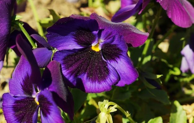 Überkopfaufnahme der purpurnen stiefmütterchenblume während eines sonnigen tages