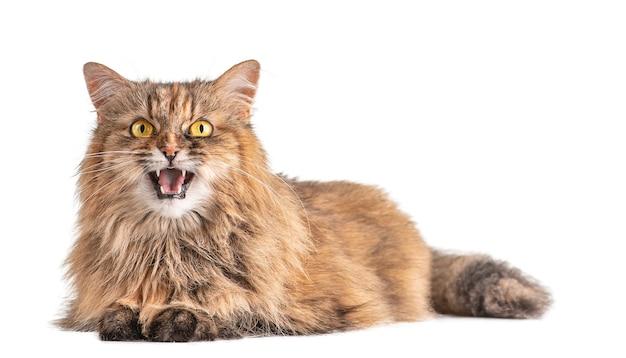 Überraschte katze offener mund in überraschung katze mit gelben augen isoliert auf weißem hintergrund