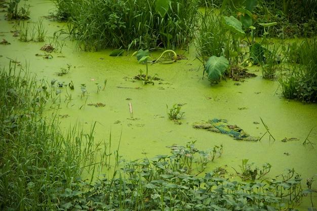 Überschüssiger teich und grüne algen.