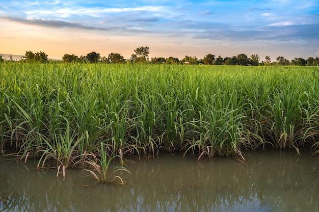 Überschwemmung zuckerrohrfarm zuckerrohrfarm in thailand.