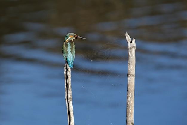 Überwinterung eisvogel alcedo atthis