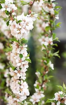 Üppige frühlingsblüte von kirschfilz