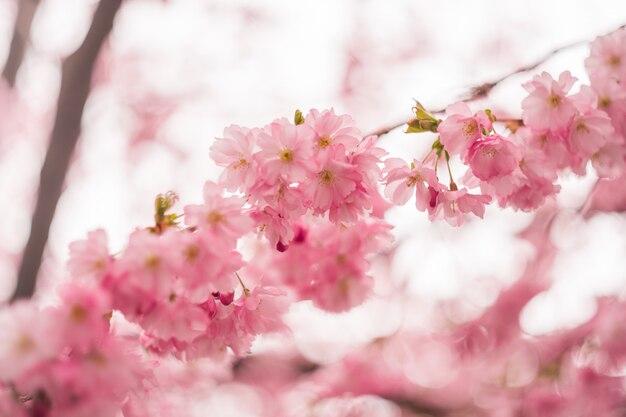 Üppige knospen cherry blossom- oder sakura-blume auf naturrosahintergrund.