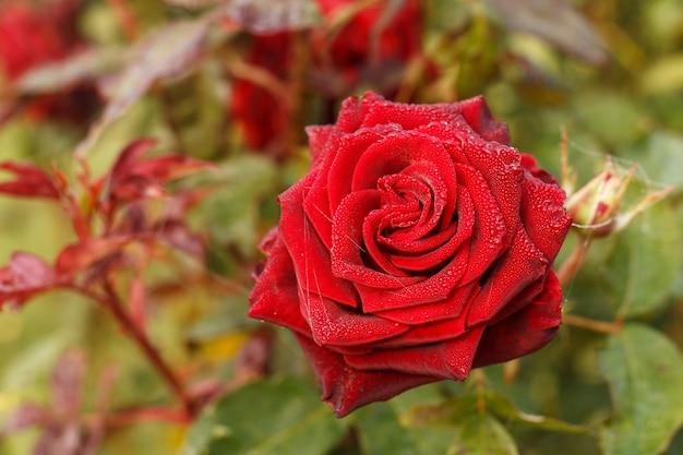 Üppige rote rose vor dem hintergrund des gartens.
