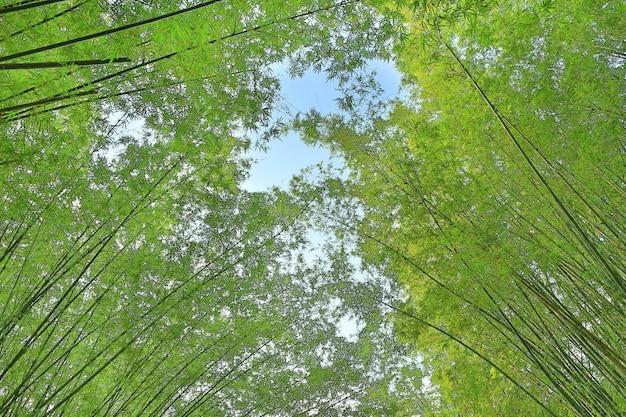 Üppiges grün des bambustunnels in thailand.