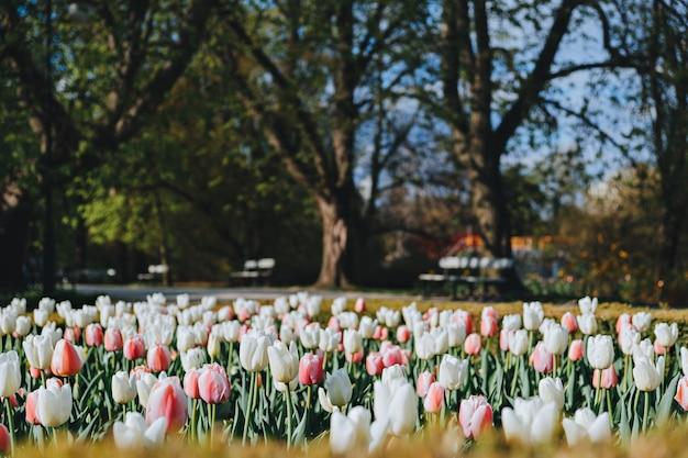 Ujazdowski park in warschau im frühjahr. szenische ansicht des berühmten parks mit bunten tulpen