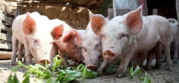 Ukrainische bauernschweine