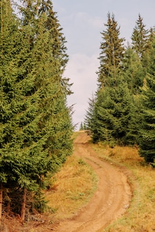 Ukrainische karpaten. kiefernwald
