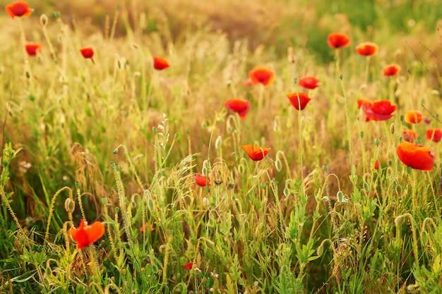 Ukrainisches mohnblumenfeld, ökologische gebiete von ukraine