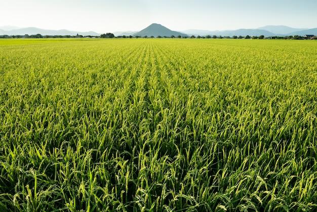 Umfangreiches grünes aufstiegsfeld im ländlichen japan.