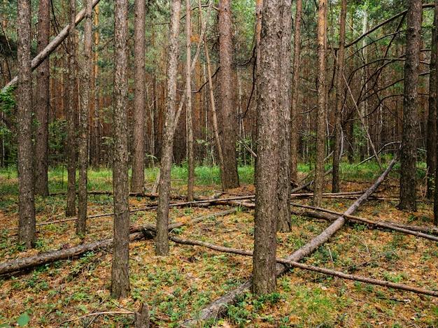 Umgestürzte baumstämme in einem kiefernwald. mittlerer ural