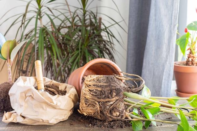Umpflanzen der zamioculcas-blüte in einen neuen braunen tontopf, die zimmerpflanzentransplantation zu hause