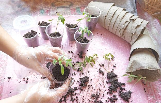 Umpflanzen von tomatensämlingen