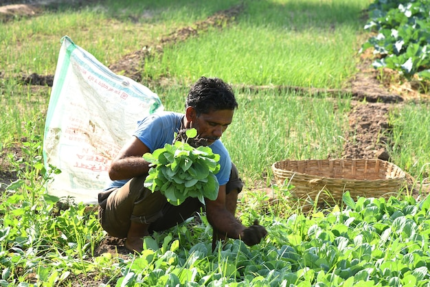 Unbekannter indischer landarbeiter, der kohl auf dem feld pflanzt und ein bündel kleiner kohlpflanze in händen auf dem bio-bauernhof hält.