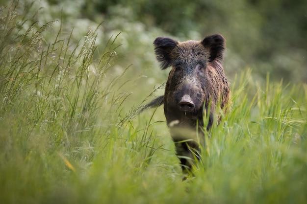 Unbekannter wildschwein nähert sich auf wiese mit hohem grünem gras